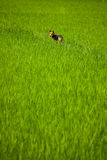 Hond die een padieveld houdt Royalty-vrije Stock Afbeelding