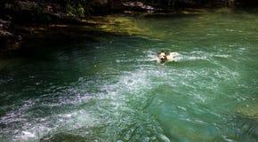 Hond die in een rivier zwemmen Stock Foto's