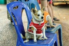 Hond die een rode overhemdszitting dragen Royalty-vrije Stock Foto