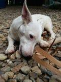 Hond die een stok bijten Royalty-vrije Stock Afbeelding