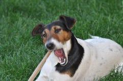 Hond die een stok kauwen stock foto's