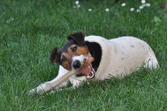 Hond die een stok kauwen royalty-vrije stock foto