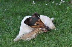 Hond die een stok kauwen royalty-vrije stock afbeelding
