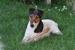 Hond die een stok kauwen stock foto