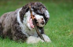 Hond die een stok kauwen royalty-vrije stock fotografie
