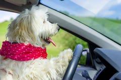 Hond die een stuurwiel in een auto drijven Stock Afbeelding
