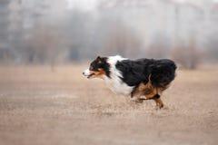 Hond die en in het park lopen spelen Stock Fotografie