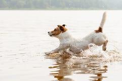 Hond die en in water met pretplonsen lopen springen Stock Foto's