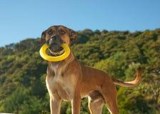 Hond die gele ring houdt. Stock Afbeeldingen