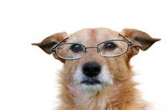 Hond die glazen draagt royalty-vrije stock afbeelding