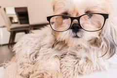 Hond die glazen dragen Stock Afbeeldingen