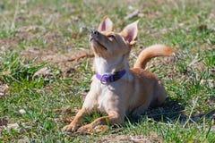 Hond die in gras liggen en aandachtig op bevel van zijn eigenaar wachten royalty-vrije stock foto