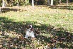 Hond die in gras met uit het plakken van tong liggen royalty-vrije stock foto