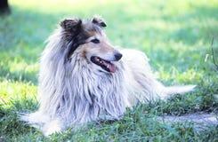 Hond die in het Gras legt Stock Fotografie