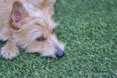 Hond die in het gras ligt stock afbeeldingen