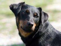 Hond die iets controleert Royalty-vrije Stock Afbeelding