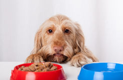 Hond die impatiently op voedsel wachten Royalty-vrije Stock Foto's