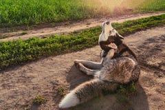 Hond die Jeukerige Oren krassen royalty-vrije stock foto