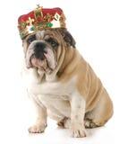 Hond die kroon dragen Stock Afbeelding