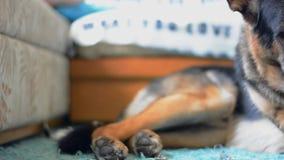 Hond die lege doos sap eten Cameradia Vlotte motie stock video
