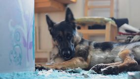 Hond die lege doos sap eten Cameradia Vlotte motie stock footage