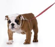 Hond die leiband dragen stock afbeelding