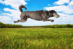 Hond die in Lucht op Open Gebied springen Royalty-vrije Stock Foto