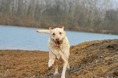 Hond die met bal lopen Stock Fotografie