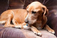 Hond die met cannula in ader ligt die infusie neemt Royalty-vrije Stock Foto