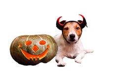 Hond die met de pompoen liggen die van de hefboomo ` lantaarn op wit wordt geïsoleerd Royalty-vrije Stock Foto
