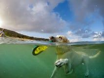 Hond die met een frisbee zwemmen - Curacao Meningen royalty-vrije stock foto's