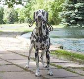 Hond die met een leiband in het park lopen stock afbeelding