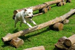 Hond die met een tak springt Stock Foto's