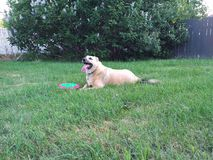 Hond die met Frisbee bepalen Stock Afbeeldingen
