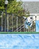 Hond die in midair over pool springen royalty-vrije stock foto's