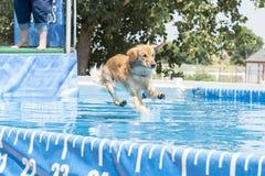 Hond die in midair over pool springen stock foto's