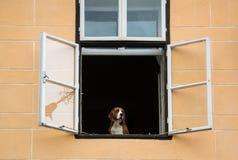 Hond die na zijn eigenaar wachten stock foto's