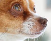 Hond die omhoog eruit zien Stock Afbeeldingen
