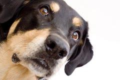 Hond die omhoog eruit ziet royalty-vrije stock foto's