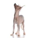 Hond die omhoog eruit ziet Stock Foto's