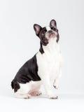 Hond die omhoog eruit ziet Royalty-vrije Stock Afbeelding