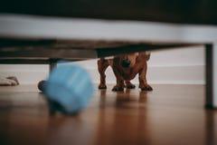 Hond die onder de bank voor het stuk speelgoed kijken royalty-vrije stock fotografie