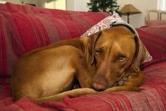 Hond die op bank rust stock foto's