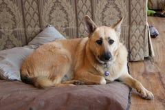 Hond die op bed leggen Royalty-vrije Stock Fotografie