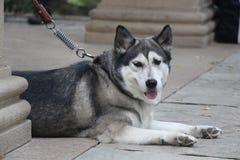 Hond die op de grond liggen Royalty-vrije Stock Afbeeldingen