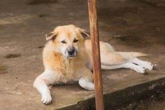 Hond die op de grond liggen Stock Foto