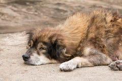 Hond die op de grond liggen Stock Afbeeldingen