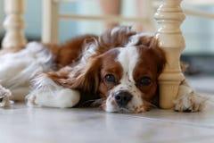 Hond die op de vloer en de droevige blikken vooruit liggen Royalty-vrije Stock Fotografie
