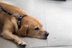 Hond die op de vloer ligt Stock Foto
