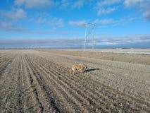 Hond die op een gebied lopen Stock Fotografie